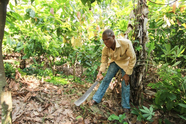 Awini working hard harvesting cocoa.